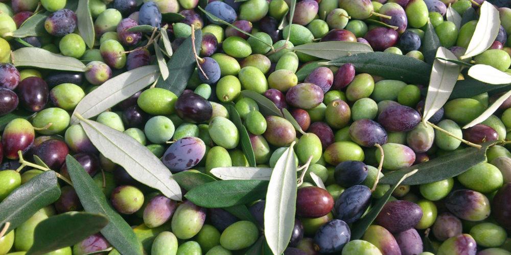 olive-peteglia